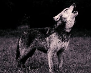 A black and white picture of a wolf howling.