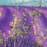 Sprawling fields of lavender.