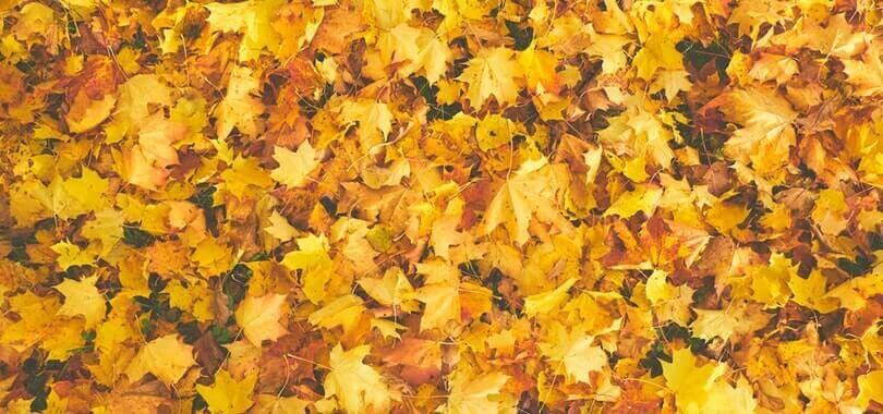 Yellow and orange leaves in a pile.