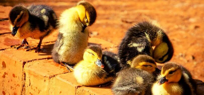 A group of ducklings sitting on the ground.