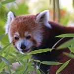 Red Panda sneaking in the bamboo leaves.