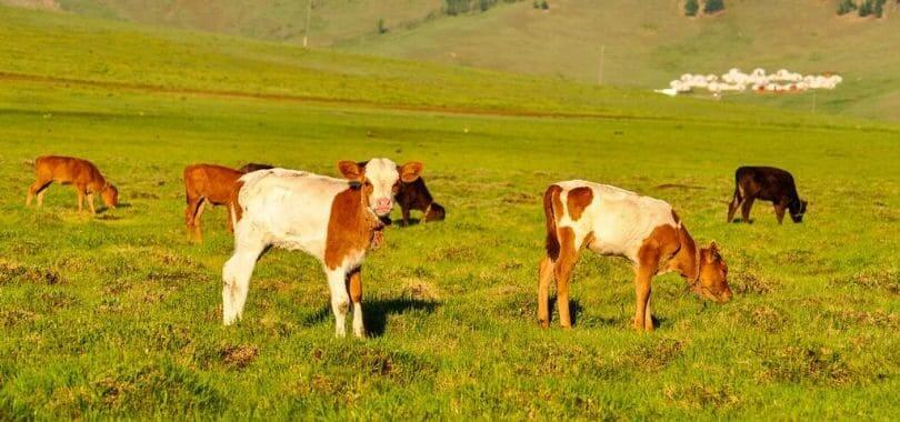 Brown and beige baby cows grazing in a field.