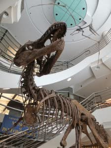 Tyrannosaurus Rex fossil from Museum of Paleontology at University of California.