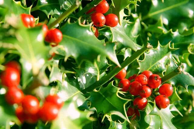 Holly and Berries are under the morning sunshine.