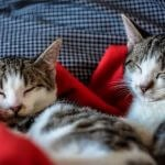 Two cats sleeping on top of a red blanket.