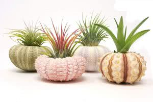 Aura Creations sea urchin plants for dorm rooms