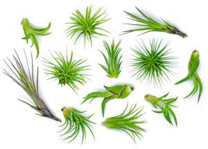 Plants for Pets air plant variety plants for dorm rooms