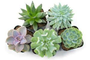 Plants for Pets succulents plants for dorm rooms